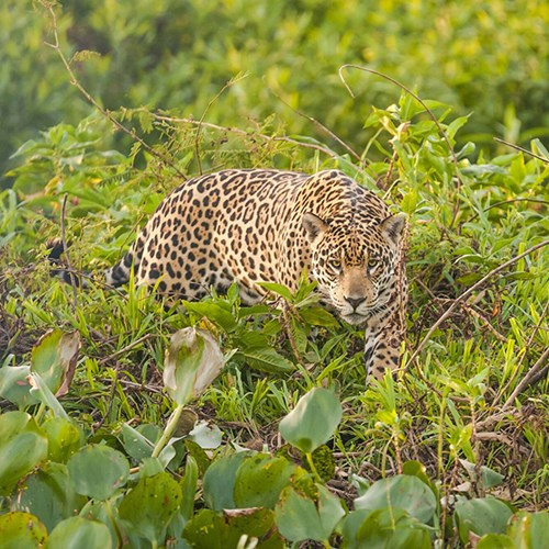 Jaguar tracking with conservationists through the Pantanal for two