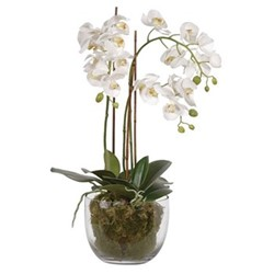 Pretty Phalaenopsis White orchid plants with moss in glass bowl, H65cm, white